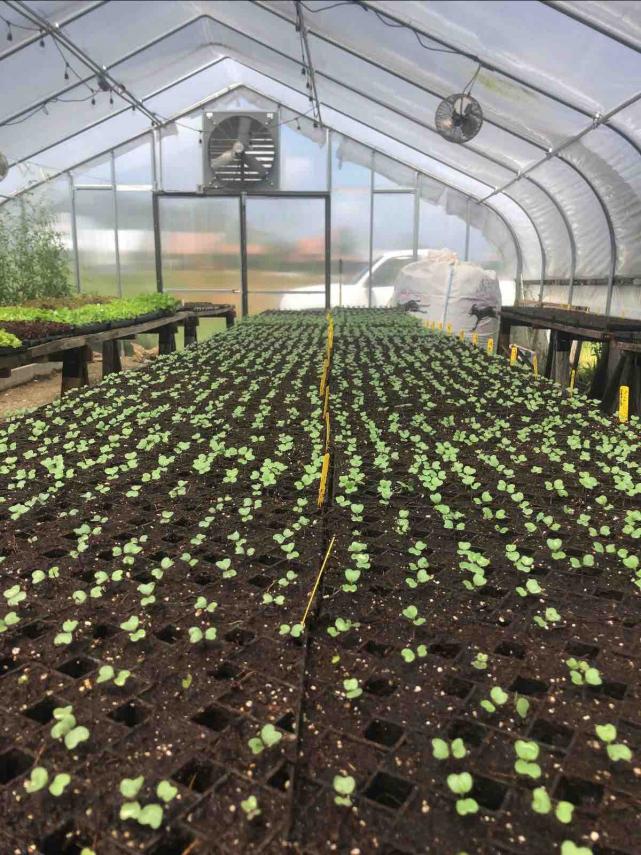 4_Olivette-seedlings